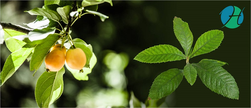 Loquat Leaf Health Benefits