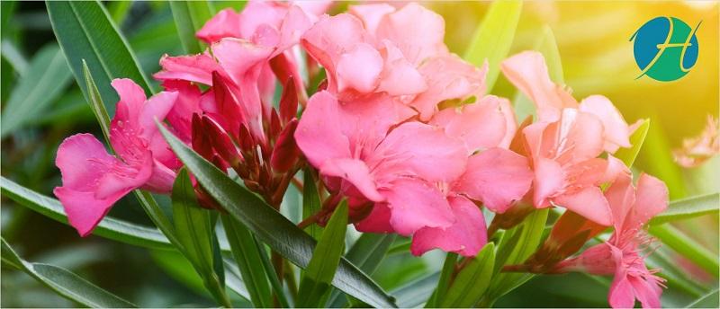 Oleander Plant Benefits