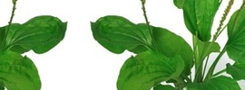 Small thumb plantain leaf   banner