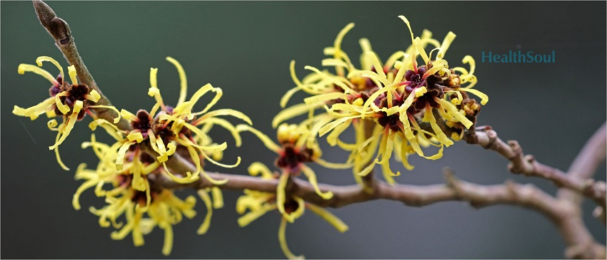 Health benefits of Witch Hazel
