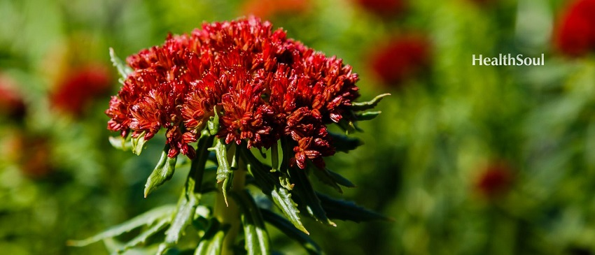 Tibetan Rhodiola benefits