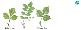 Poison ivy: an allergic reaction from plant