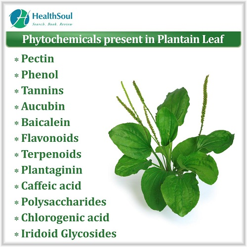 Phytochemicals present in Plantain Leaf | HealthSoul