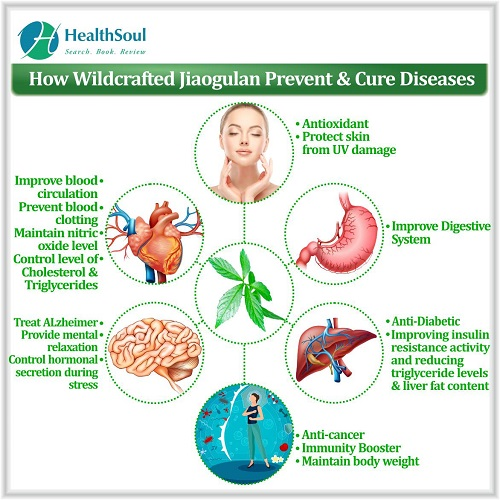 How Wildcrafted Jiaogulan Prevent & Cure Diseases   HealthSoul