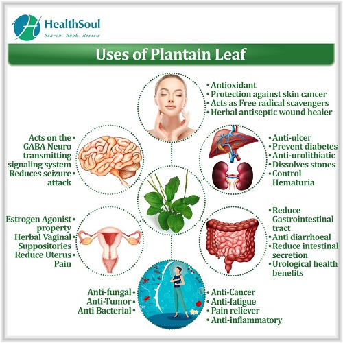Uses of Plantain Leaf | HealthSoul